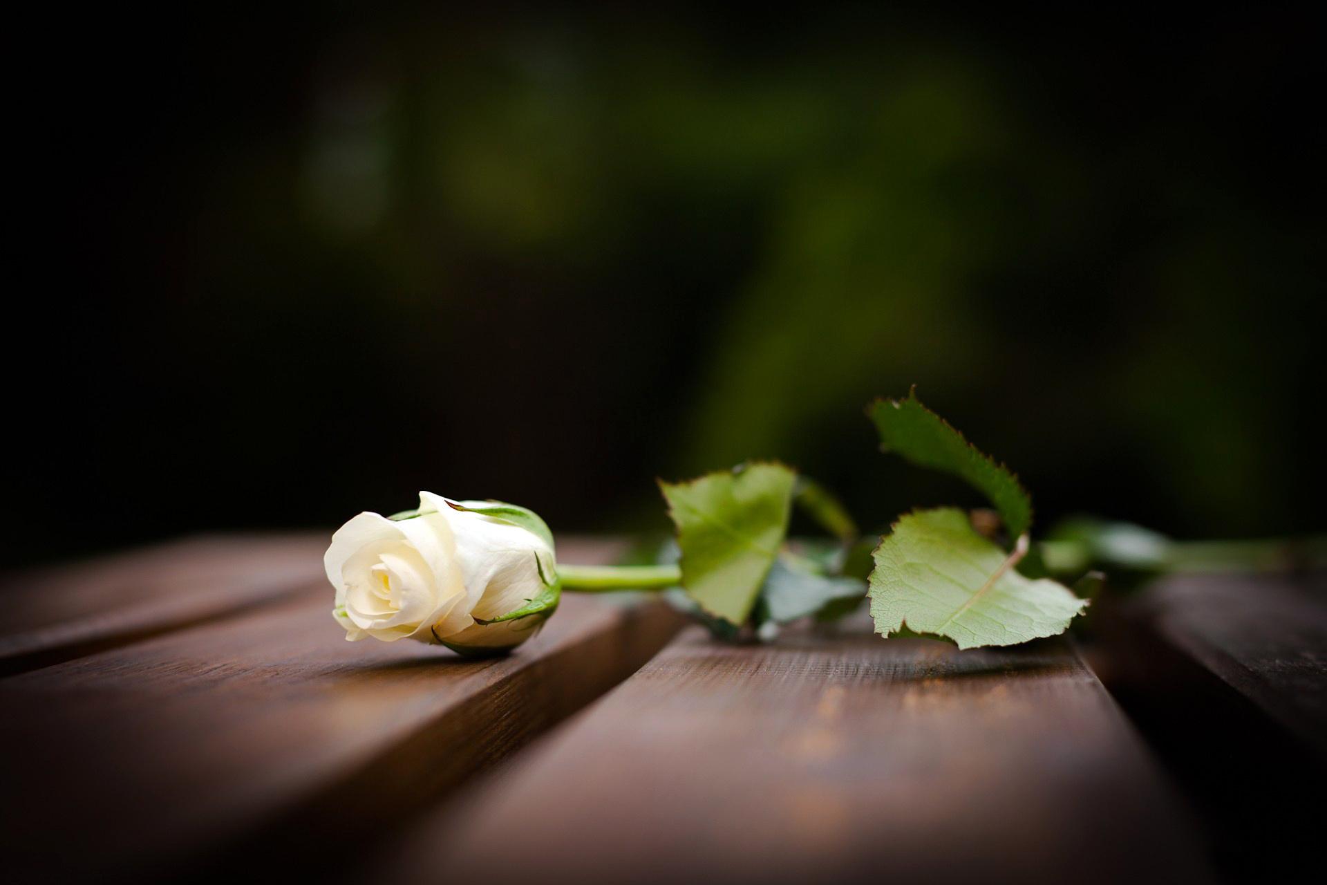 Trong tang lễ, hoa hồng trắng bày tỏ lòng thương tiếc cho những số phận xấu số phải ra đi